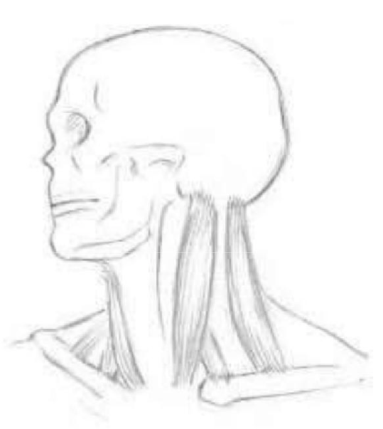 visualizing muscles (the skull in profile)